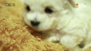 治愈262:马尔济斯犬