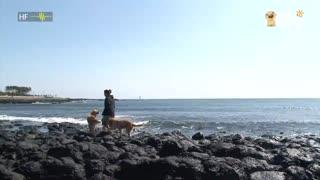治愈239:黄金猎犬