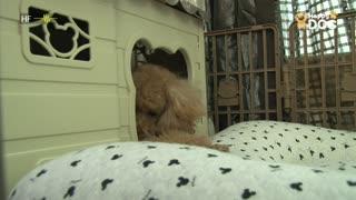 治愈233:贵宾犬