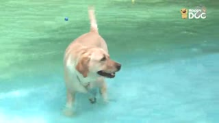 玩耍130:黄金猎犬