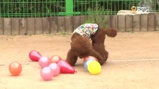 玩耍24:贵宾犬