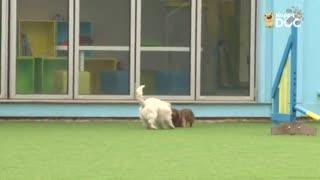 玩耍22:西高地白梗、杰克罗素梗、达克斯猎犬
