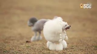 玩耍176:贵宾犬