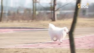 玩耍193:西伯利亚赫斯基犬黄金猎犬意大利灰狗