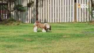 玩耍205:西施犬
