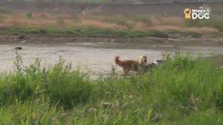 玩耍52:英国古代牧羊犬、黄金猎犬