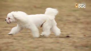 玩耍175:贵宾犬