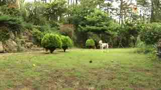 玩耍62:英国古代牧羊犬
