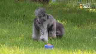 玩耍228:比熊卷毛贵宾犬