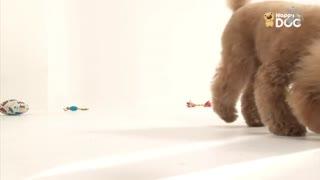 玩耍65:贵宾犬