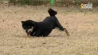 玩耍58:柴犬
