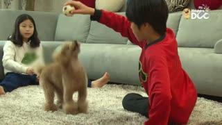 玩耍53:贵宾犬