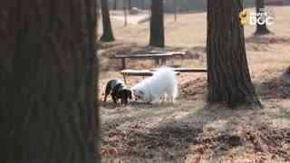 玩耍199:腊肠犬马尔济斯犬