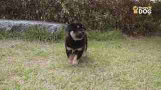 玩耍206:珍岛犬