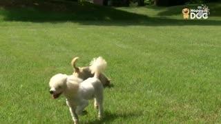 玩耍84:贵宾犬