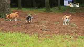 玩耍160:约克郡犬威尔士柯基犬