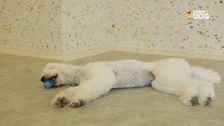 玩耍213:贝灵顿梗贵宾犬
