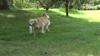 玩耍66:黄金猎犬