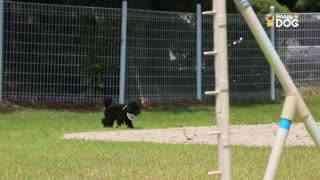 玩耍227:比熊卷毛贵宾犬