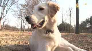 玩耍86:黄金猎犬