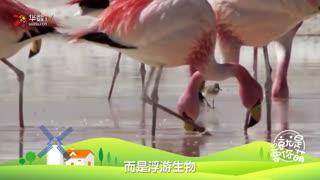 【就是要你萌】火烈鸟:红鹤界的网红