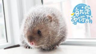 竹鼠:网红界的新秀