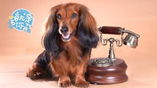 【就是要你萌】腊肠犬:温柔可爱的腊肠绅士