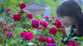 李子柒古香古食_20200828_玫………瑰花…的一生?