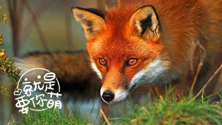 赤狐:狡猾神秘的夜行者