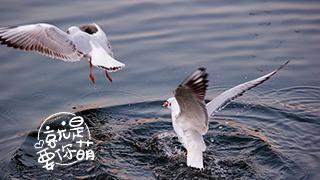 """海鸥:海岸边的""""吃货强盗"""""""