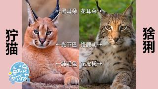 就是要你萌_20200409_你能分得清猞猁和狞猫吗?
