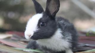 """【就是要你萌】荷兰兔:温顺可爱的""""林黛玉"""""""