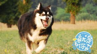 【就是要你萌】阿拉斯加犬:憨厚忠诚的大型捣蛋鬼