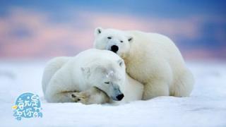 """就是要你萌_20200813_北极熊:充满力量的""""浪里白条"""""""
