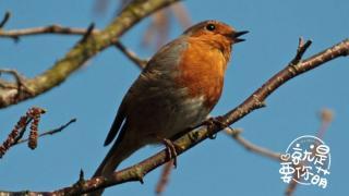 就是要你萌_20200806_红胸鸲:灵巧的知更鸟歌唱表演家