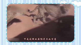 【宠物精选】母猎豹被四只雄性猎豹求偶,一个都不爱