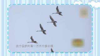 【爱宠-动物来了】寻找A97 一只往返迁徙十年的环志大天鹅