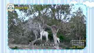 【爱宠资讯】全球有名的一对白色长颈鹿母子惨遭毒手,世上或仅存1只