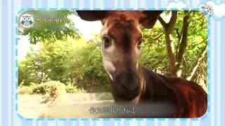 【爱宠资讯91】长颈鹿唯一未灭绝的近亲,像鹿又像斑马