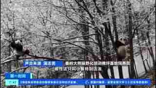 陕西:雪色秦岭 大熊猫爬树竞技