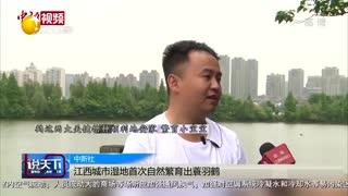 江西城市湿地首次自然繁育出蓑羽鹤