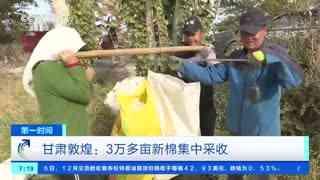 甘肃敦煌:3万多亩新棉集中采收