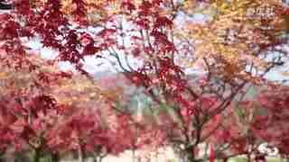 重庆:千亩红枫尽展颜