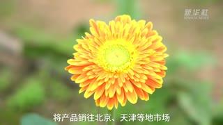 河北迁安:发展花卉产业助力乡村振兴