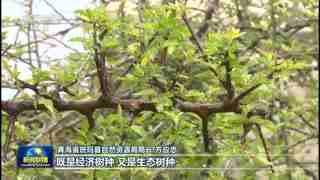 奋斗百年路 启航新征程·同心奔小康 青海班玛:藏雪茶绘就高原致富经
