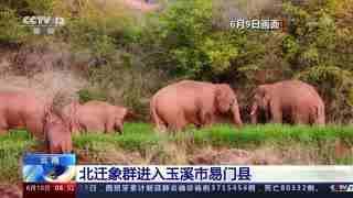 云南:北迁象群进入玉溪市易门县