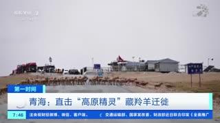 """青海:直击""""高原精灵""""藏羚羊迁徙"""