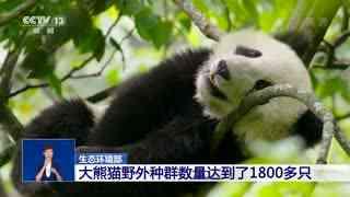 生态环境部:大熊猫野外种群数量达到了1800多只