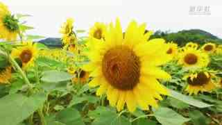 贵州修文:千亩向日葵花海惊艳盛放
