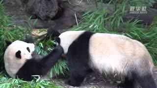"""大熊猫""""福来""""""""福顺""""过生日"""